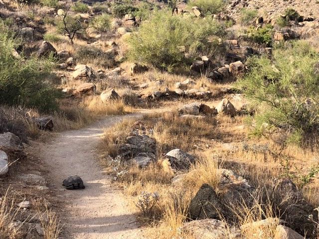 Desert Tortoise Encounter in the White Tank Mountains